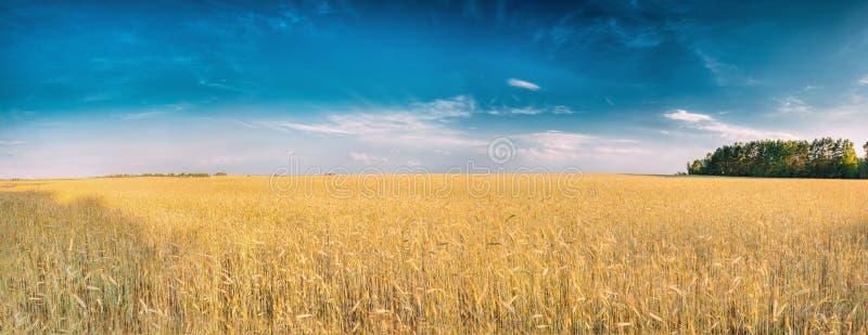 Paesaggio di giovani germogli di giallo di estate di grano nel campo sotto fotografia stock libera da diritti