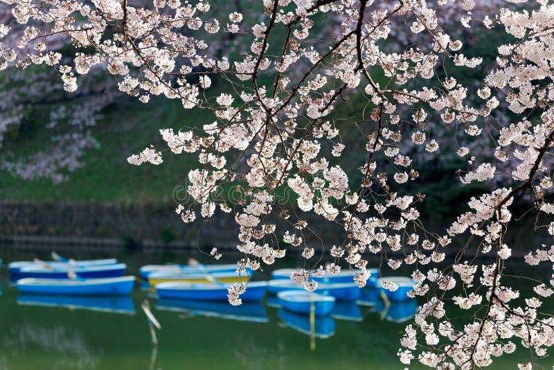 Paesaggio di incremento degli alberi del fiore di ciliegia che fioriscono su una bella mattina e sulle barche a remi della molla  immagine stock libera da diritti