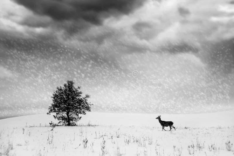 Paesaggio di inverno in bianco e nero Albero solo e cervi selvaggi in un campo nevoso immagine stock libera da diritti