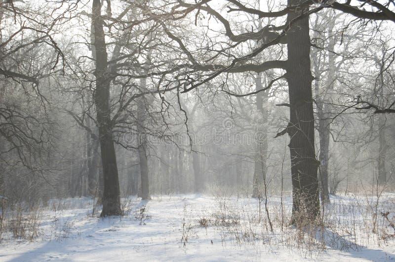 Paesaggio di inverno Boschetto della quercia Alberi forestali e rami congelati in atmosfera di bianco del gelo immagine stock