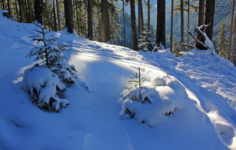 Paesaggio di inverno con gli abeti sotto neve fotografia stock libera da diritti