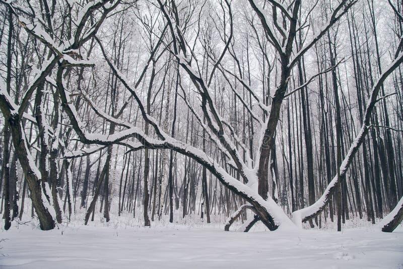 Paesaggio di inverno con gli alberi innevati fotografia stock