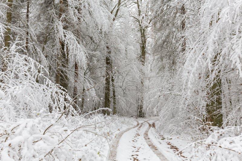 Paesaggio di inverno della foresta naturale con le querce fotografia stock