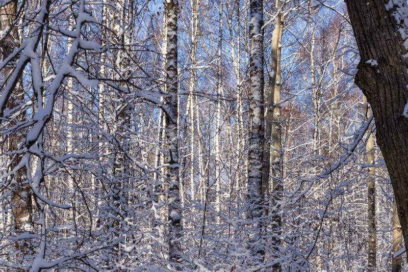 Paesaggio di inverno Foresta innevata un giorno gelido soleggiato fotografia stock libera da diritti