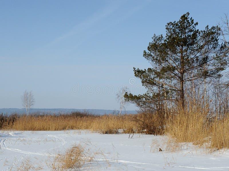 Paesaggio di inverno La riva di un fiume congelato Pino e canne sulla riva fotografie stock