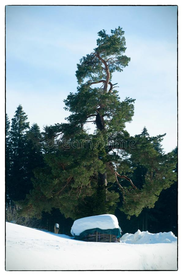 Paesaggio di inverno Legna da ardere vicino alla casa Legna da ardere sotto un vecchio pino fotografie stock