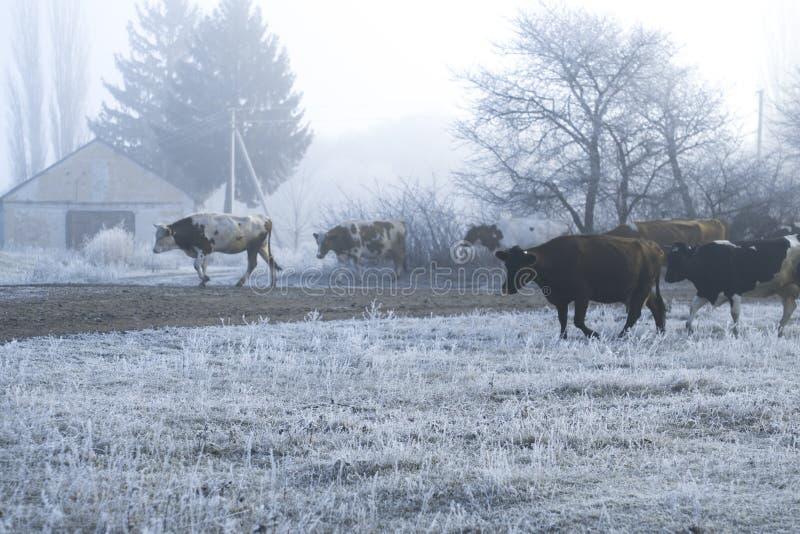 Paesaggio di inverno nel villaggio Le mucche vanno su una strada gelida di mattina fotografie stock