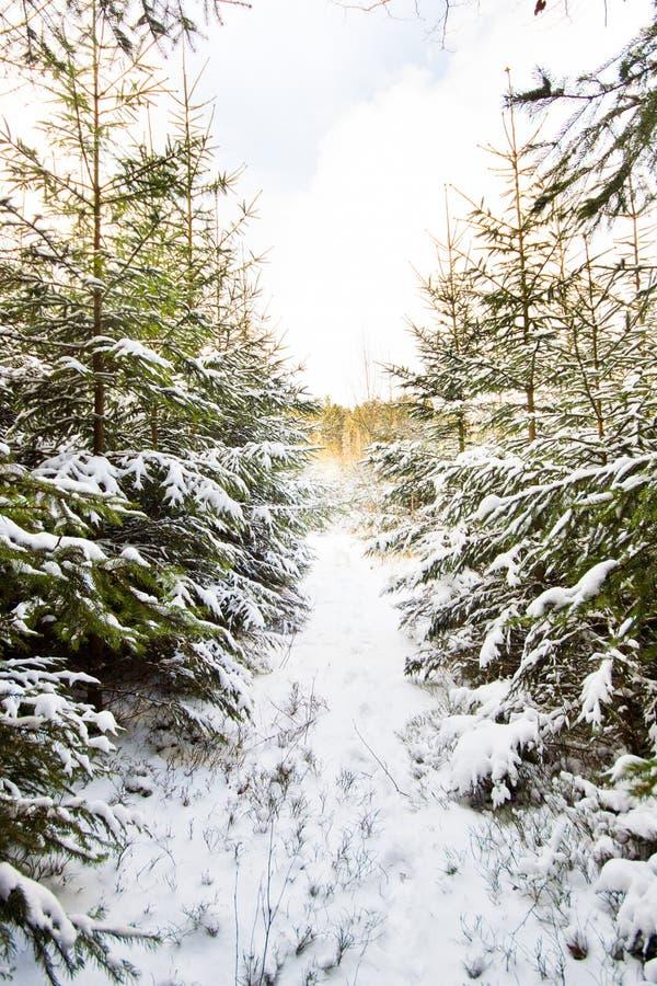 Paesaggio di inverno nella foresta con gli alberi coperti di bianco immagini stock libere da diritti