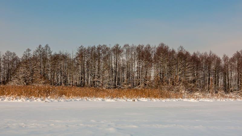 Paesaggio di inverno Reed ed alberi costa del lago della neve fotografia stock libera da diritti