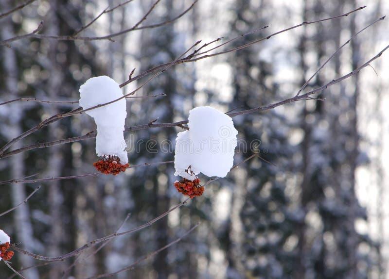 paesaggio di inverno un ramo della bacca rossa in neve fotografia stock