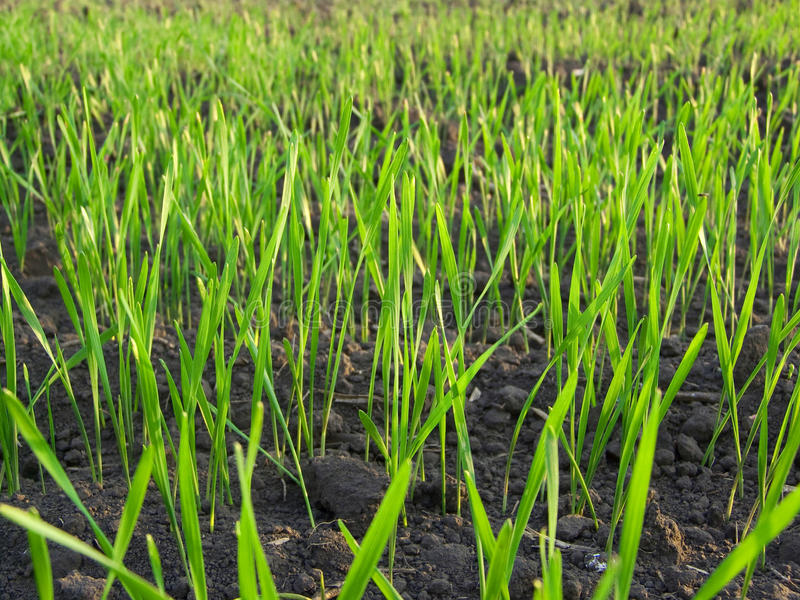 Paesaggio di macro del prato di verde di erba fotografia stock libera da diritti