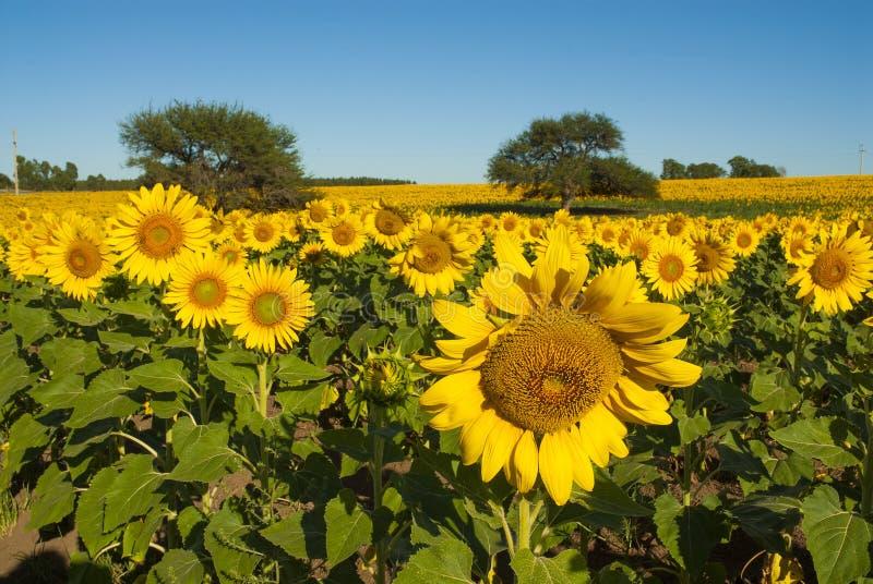 Paesaggio di Pampa, immagine stock