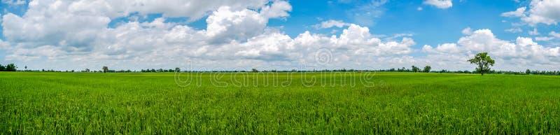 Paesaggio di panorama della Tailandia Giacimento verde del riso del gelsomino della natura fotografia stock