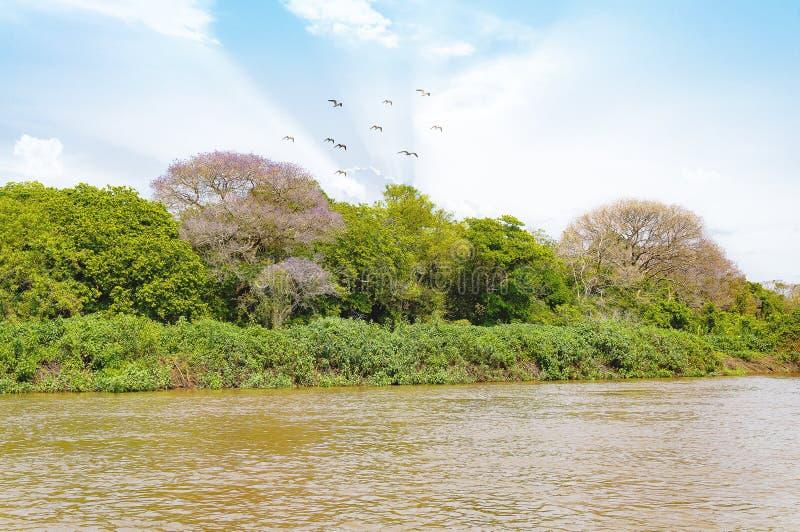 Paesaggio di Pantanal con il rive, gli uccelli e la vegetazione verde fotografia stock libera da diritti