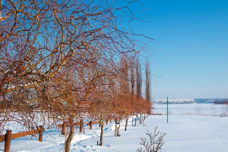 Paesaggio di paysage congelato inverno degli alberi nudi con i rami rossi immagini stock libere da diritti