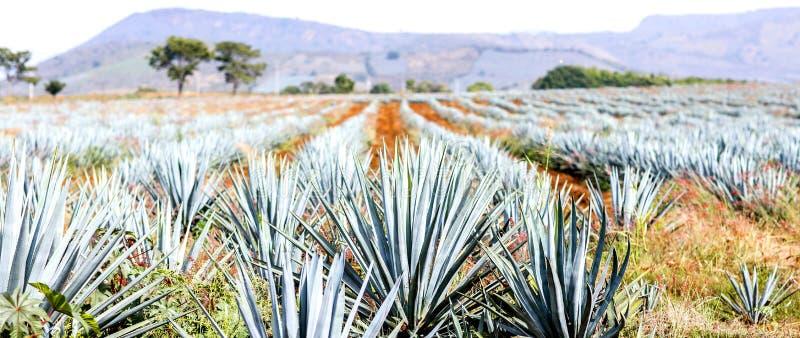 Paesaggio di tequila dell'agave immagine stock libera da diritti