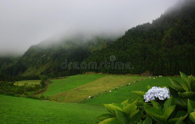 Paesaggio di verde del Flores, Azzorre, Portogallo immagini stock