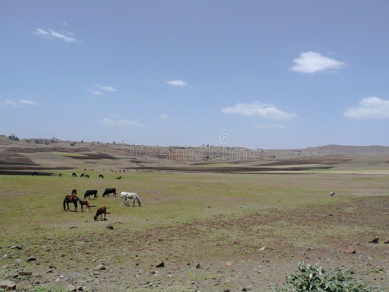 Paesaggio etiopico del bestiame fotografie stock
