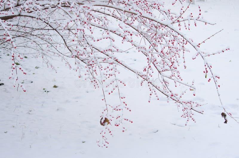 Paesaggio invernale con frutta rossa sotto la neve immagine stock libera da diritti