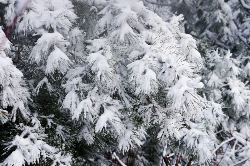Paesaggio invernale con pini sotto la neve fotografie stock libere da diritti
