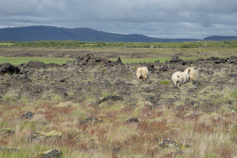 Paesaggio islandese con le pecore immagini stock libere da diritti