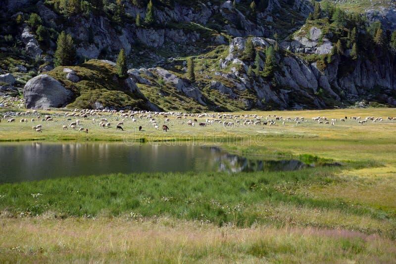 Paesaggio, lago della montagna e gregge di bestiame alpini italiani fotografia stock