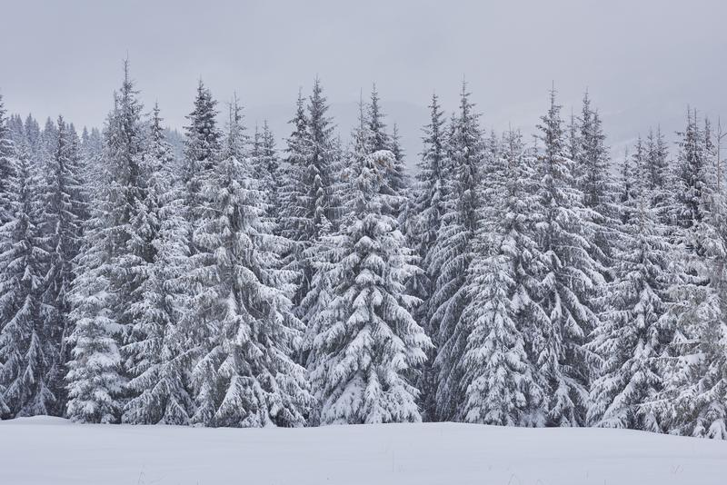 Paesaggio leggiadramente di inverno con gli abeti e le precipitazioni nevose Concetto di saluti di natale fotografie stock
