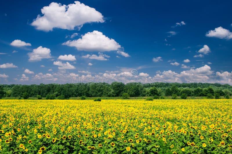 Paesaggio luminoso di estate. giacimento del girasole fotografie stock libere da diritti