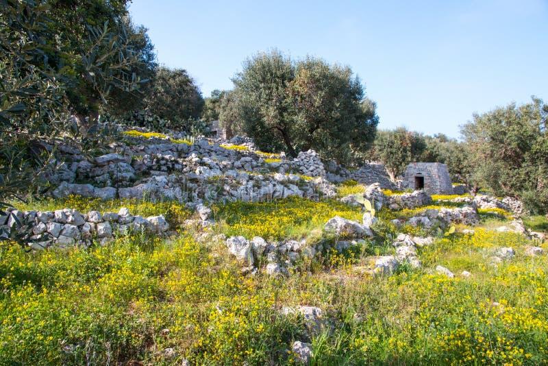 Paesaggio mediterraneo nel Salento con olivi, pietre e muri, Italia fotografie stock