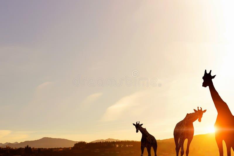 Paesaggio naturale di safari alle luci del tramonto fotografie stock libere da diritti