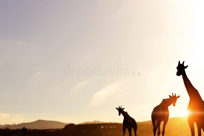 Paesaggio naturale di safari alle luci del tramonto Media misti fotografie stock libere da diritti