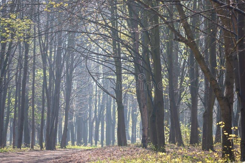 Paesaggio nebbioso di mattina Alberi della primavera in una foschia leggera immagine stock