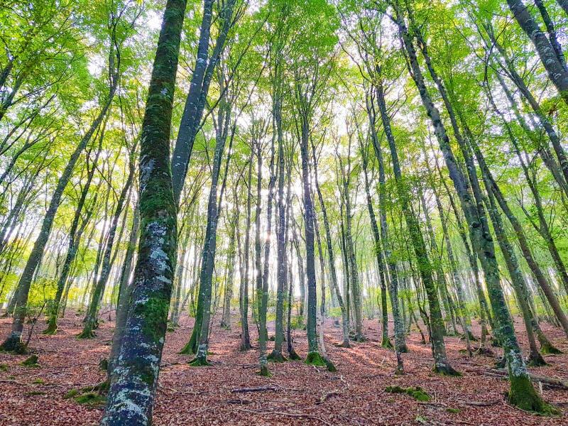 paesaggio nella foresta del faggio in autunno in anticipo immagine stock libera da diritti