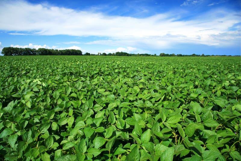 Paesaggio rurale con il giacimento verde fresco della soia fotografie stock