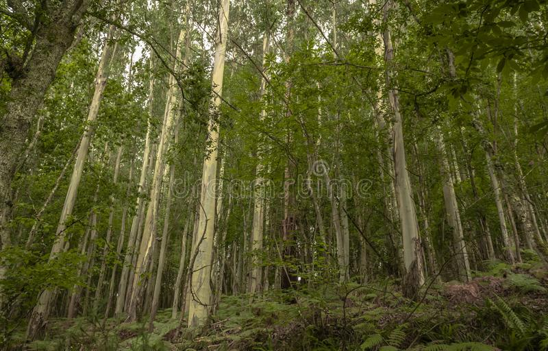 Paesaggio rurale della foresta della betulla con vegetazione nei toni verdi fotografia stock libera da diritti