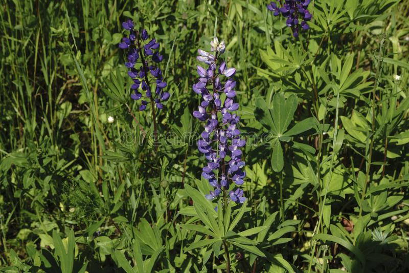 Paesaggio rurale di estate con i fiori porpora su un prato e su un tramonto fiori selvaggi sboccianti del campo su alba immagine stock libera da diritti