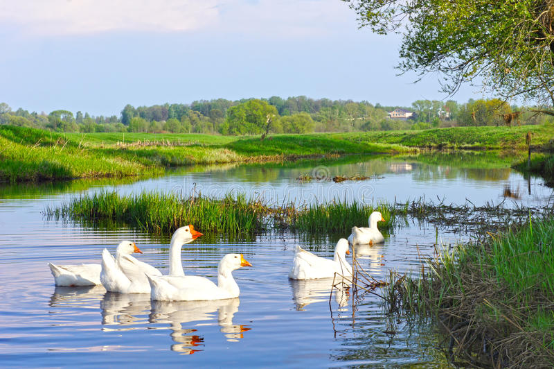 Paesaggio rurale di estate Oche bianche domestiche nel fiume immagini stock libere da diritti