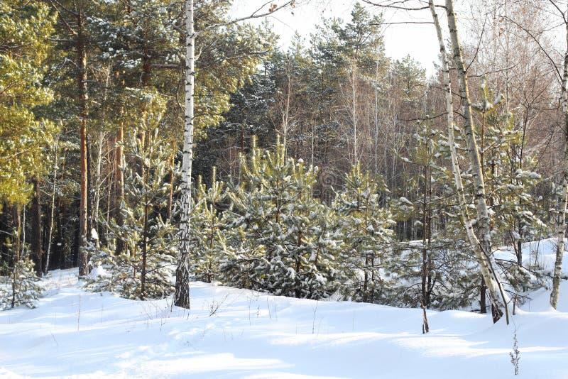 Paesaggio rurale di inverno con i nuovi, piccoli pini e neve un giorno di inverno soleggiato Neve sul sentiero forestale Contro i fotografia stock libera da diritti