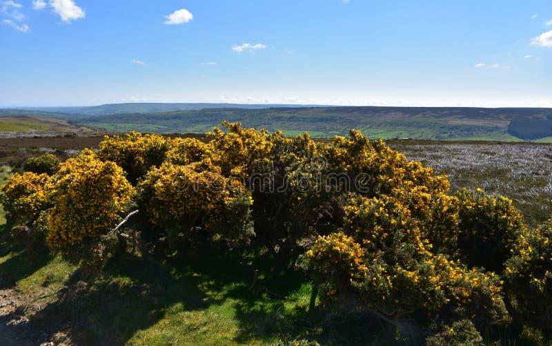 Paesaggio rurale di stordimento con i cespugli di fioritura del ginestrone fotografia stock