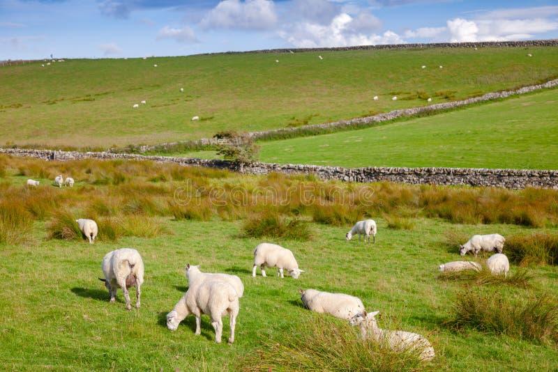 Paesaggio rurale scozzese con il pascolo delle pecore immagini stock