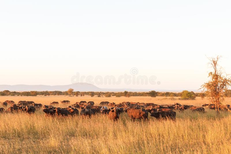 Paesaggio in savanna Un grande gregge dei bufali africani nel Serengeti tanzania immagini stock libere da diritti