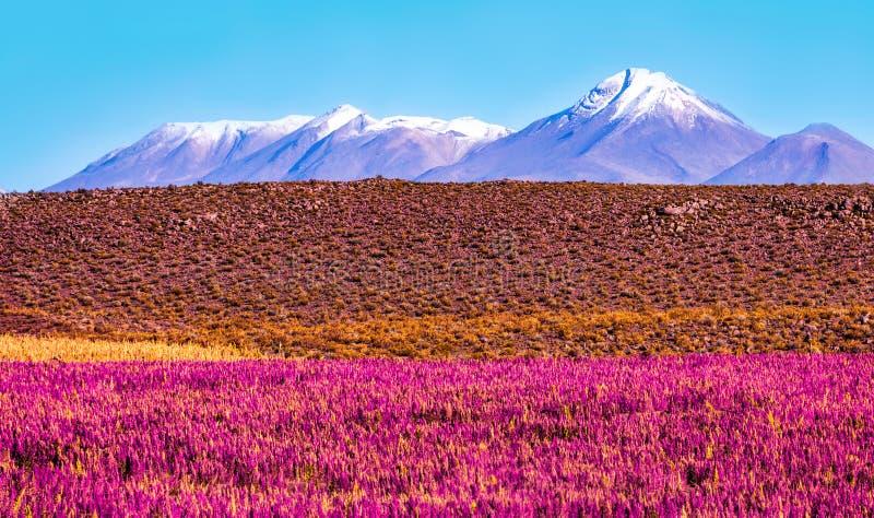 Paesaggio scenico con le angiosperme nella priorità alta e nel vulcano innevato fotografia stock