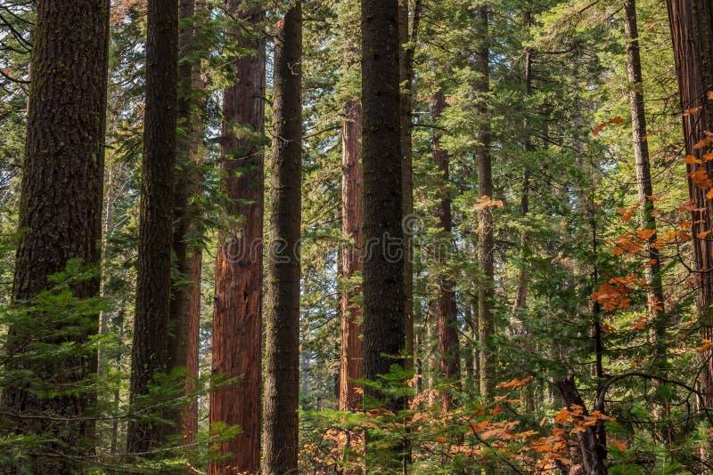 Paesaggio sempreverde della foresta immagine stock libera da diritti