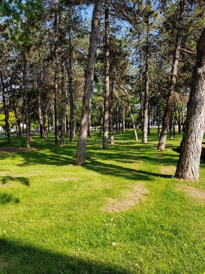 Paesaggio soleggiato di bella estate in abetaia con i tronchi snelli alti delle conifere, dell'aria pura fresca e del verde fotografie stock