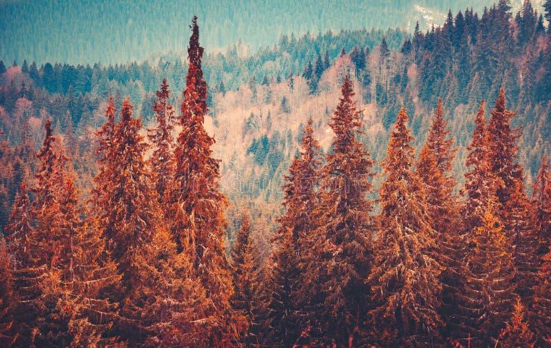 Paesaggio splendido di autunno con la foresta dei pini fotografia stock