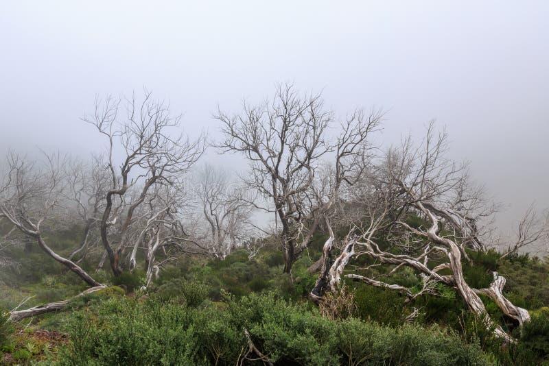 Paesaggio terrificante che mostra una foresta scura nebbiosa con tre bianco morto fotografia stock libera da diritti
