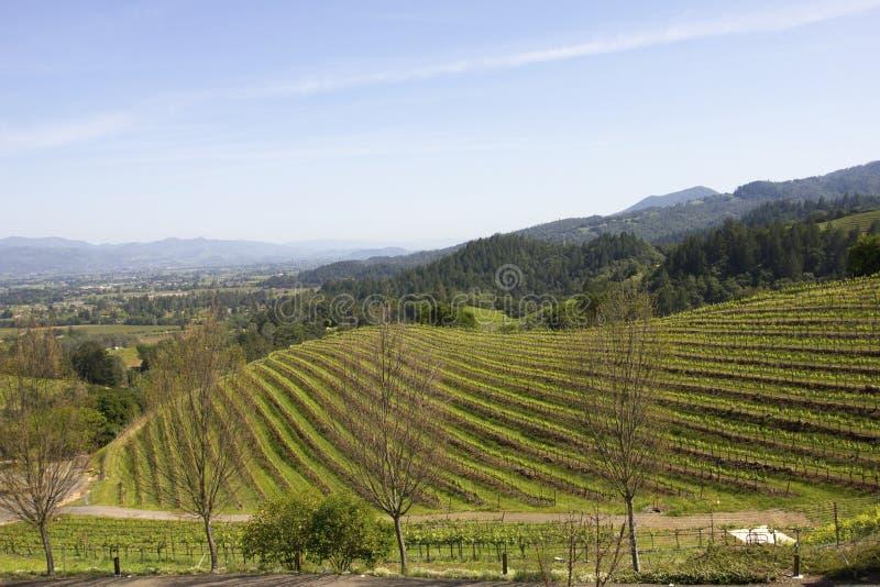 Paesaggio tipico con le file dell'uva in di regione viticola di Napa Valley fotografia stock