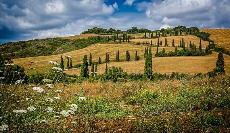 Paesaggio toscano classico degli alberi di cipresso e dei giacimenti di grano immagini stock libere da diritti