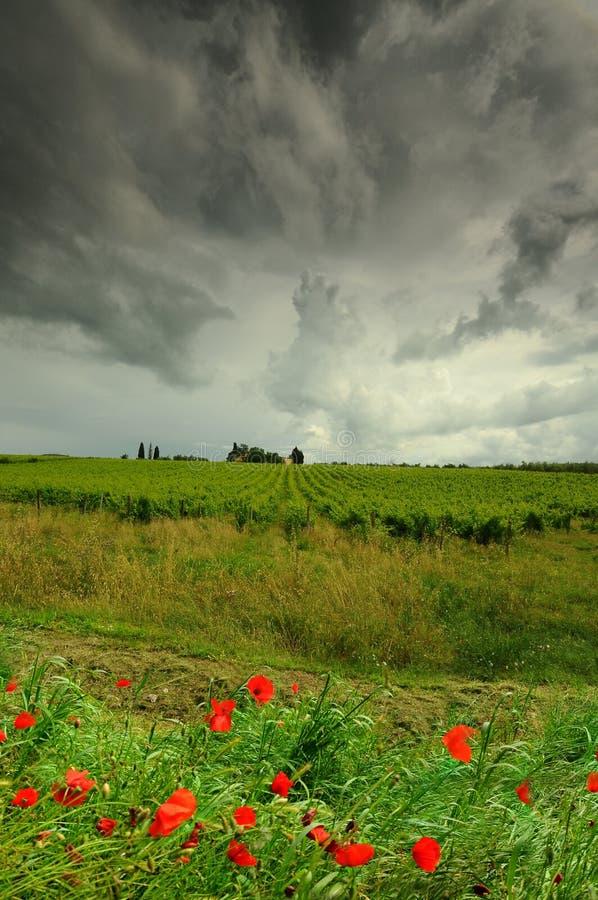 Paesaggio toscano con i papaveri e le vigne rossi su fondo con il cielo nuvoloso drammatico L'Italia fotografia stock