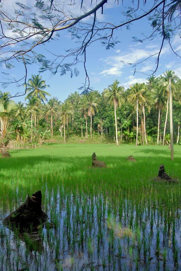 Paesaggio tropicale con un giacimento del riso coperto da acqua di foresta della palma nei precedenti fotografia stock libera da diritti